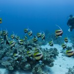 Wimplefische am Malahi Riff