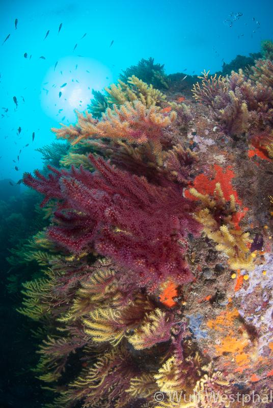 Farbwechselnde Gorgonien/ Costa Brava / Mittelmeer