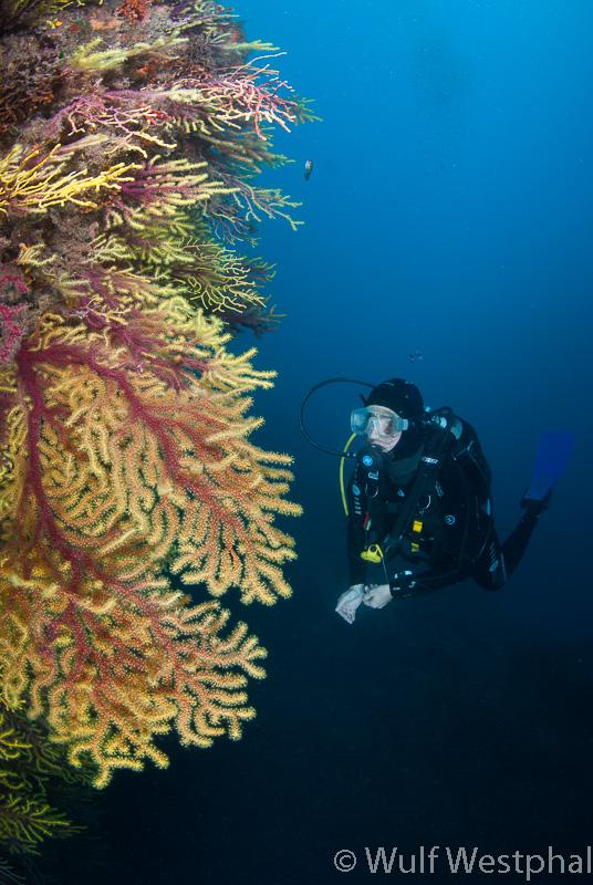 Farbwechselnde Gorgonien mit Taucherin / Costa Brava / Mittelmeer
