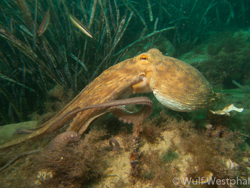 Oktopus / Costa Brava / Mittelmeer