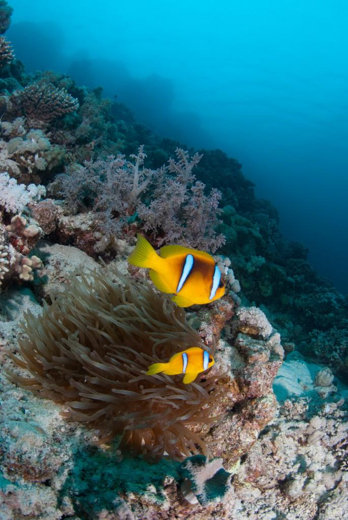 portfolio_uw_marsa_shagra_anemonenfische